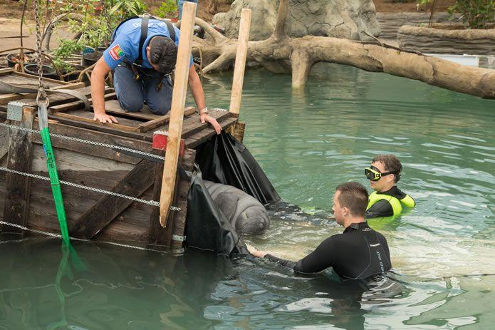Drie zeekoeien zijn naar 1 miljoen liter water verhuisd in Burgers Zoo
