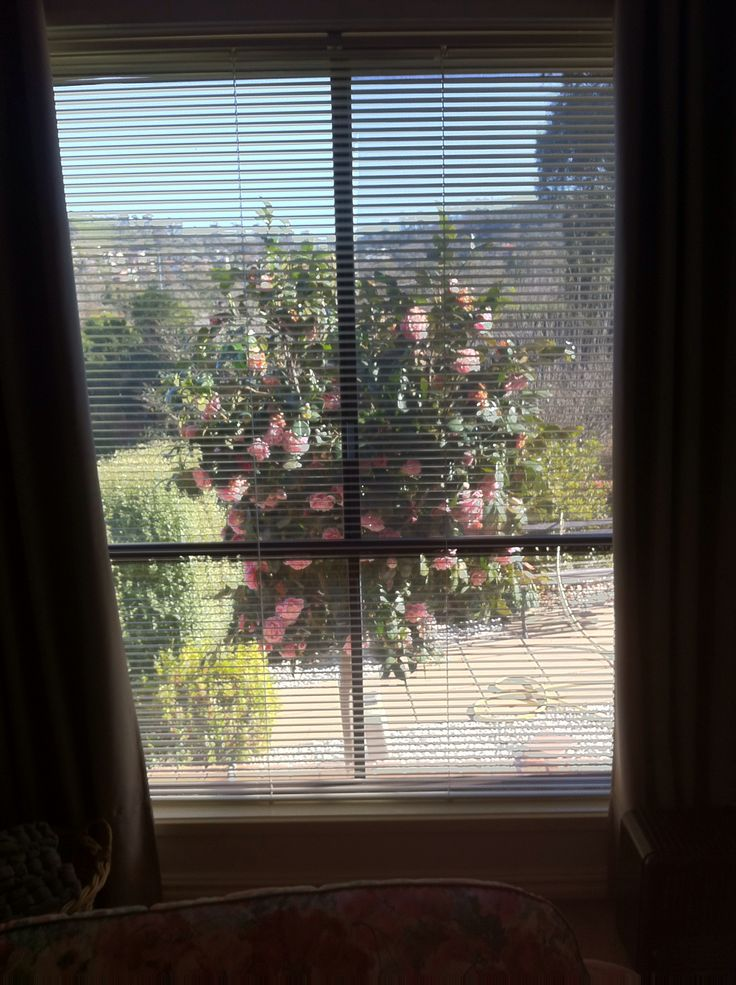 View from my lounge  room window of my Camelia tree