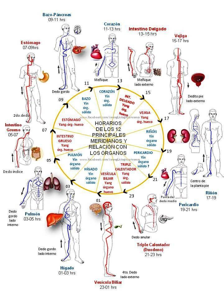 RITMO CIRCADIANO – CIRCULACION ENERGETICA ( Medicina China )