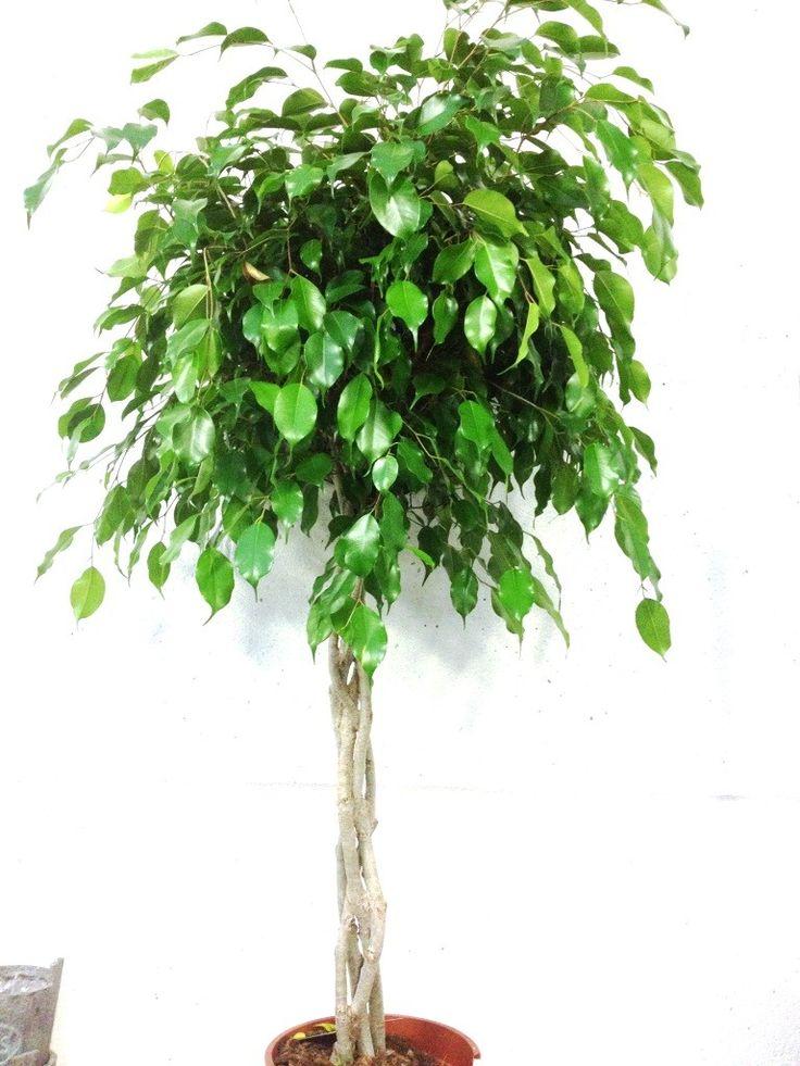 ficus benjamina tige tress houseplants pinterest ficus. Black Bedroom Furniture Sets. Home Design Ideas