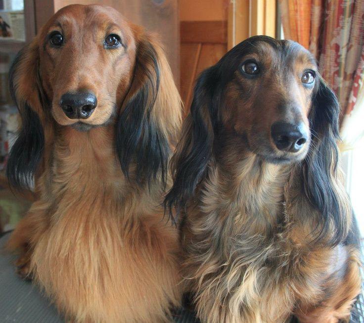 Beautiful long haired dachshunds