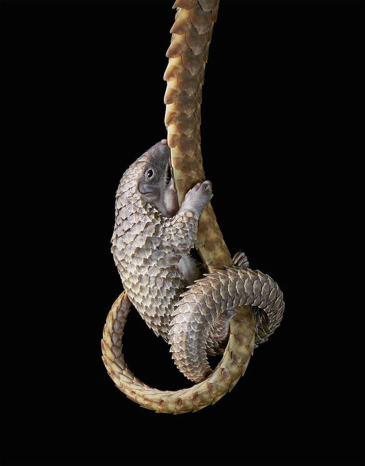 White bellied Pangolin by Tim Flach. #timflach #animalphotography #pangolin
