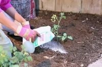 Use Epsom salt to fertilize and feed roses, tomatoes, and peppers.
