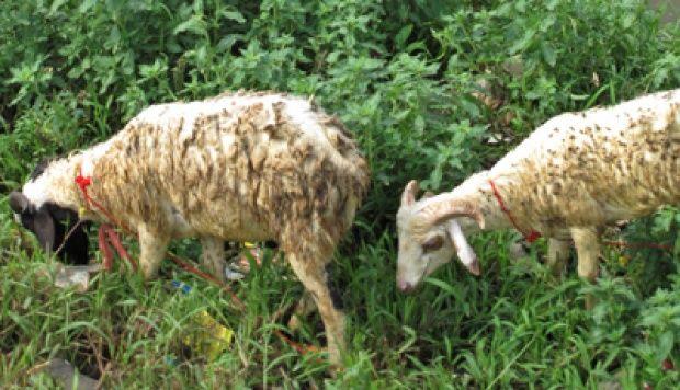 Kampoeng Domba Jawara Wirausaha Sosial