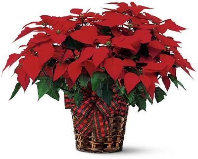 Large Poinsettia Basket    B9-3602      The traditional holiday blooming plant, a Christmas Poinsettia, with its dark leaves and deep red flowers is the perfect gift for family and friends.    Approx. 24.0h x 26.0w     https://www.4165flower.com/index.asp?pid=4=viewproduct=9190=1