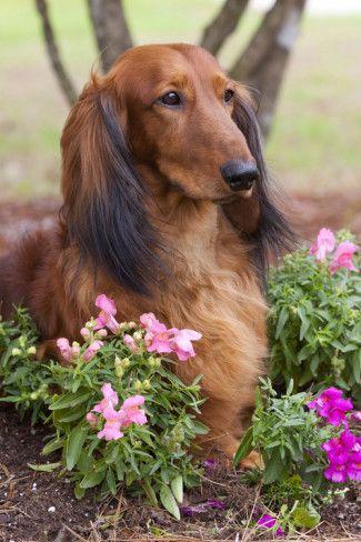 Long-Haired Standard Dachshund in Ornamental Flowers, Florida, USA Fotoprint