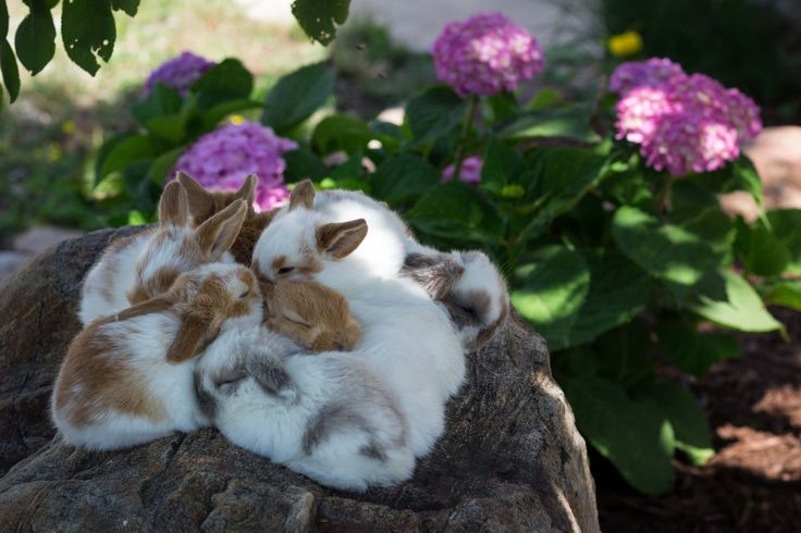 3-week-old baby Holland lop bunnies from Hook's Hollands Ohio Holland Lops.