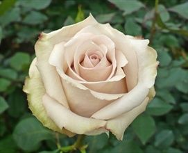 Quicksand Rose is a lovely subtle creamy, light beige rose with an elegant #vintage look.