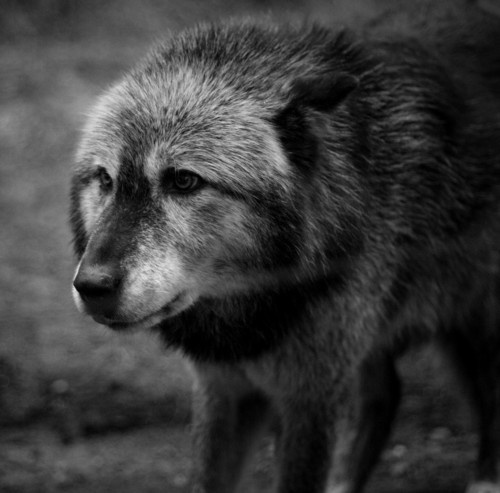 17 Best images about Wolves on Pinterest | Wolves ...