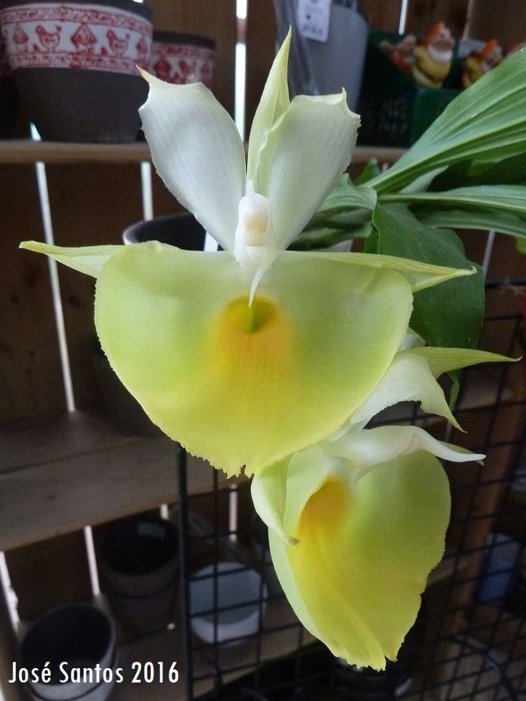 Catasetum pileatum 'Oro Verde', de Florinda Lopes