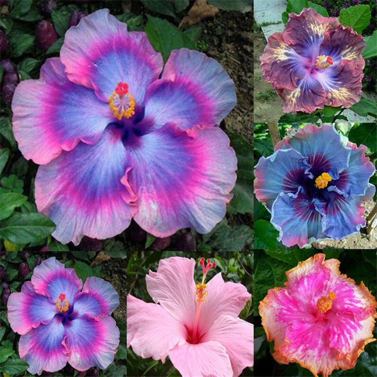 100 Seeds Cute Garden Giant Hibiscus Exotic Flower Mix Rare Blue-Pink Color  FS #UnbrandedGeneric