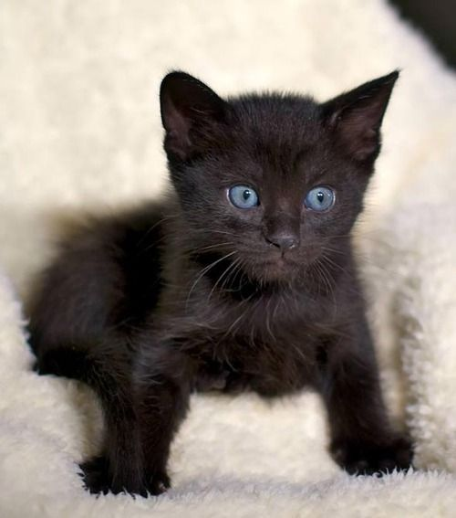 Fluffy Black Kittens With Blue Eyes As 1654 melhores image...