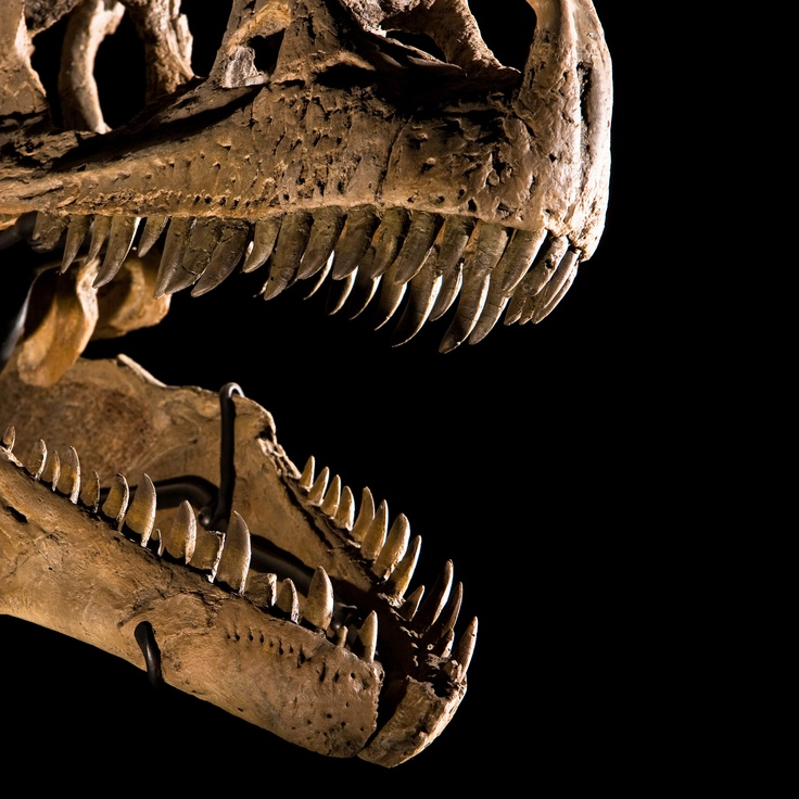 The business end of Allosaurus fragilis. Image credit: Carnegie Museum of Natural History.
