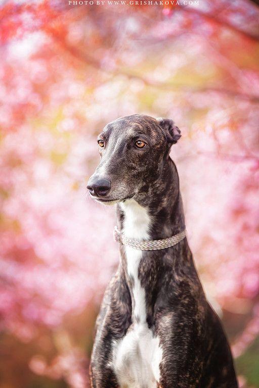 Greyhound. Grishakova Photography. | Greyt Photos 4 - Kate ...