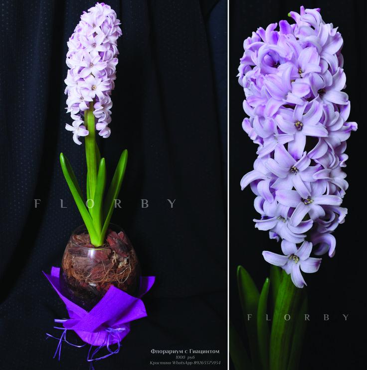 Диаметр 12 см , высота 15 см. Материал - Почва с минеральным удобрением, сосновая кора, кокосовое волокно, стекло. Растения - Восточный гиацинт (H. orientalis) 1шт. Цена 1000 руб