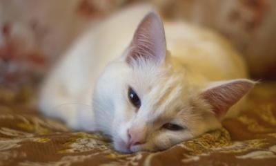 White Cat, Sleep (click to view)
