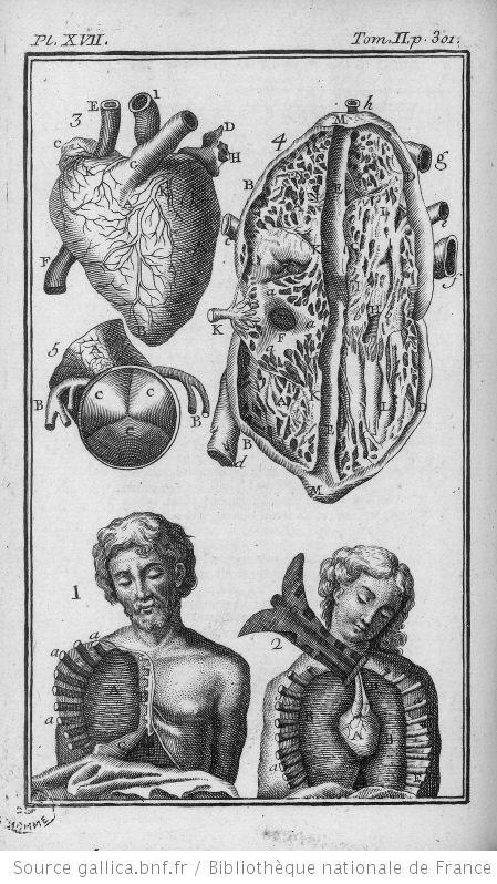 anatomie humaine - anatomie humaine Le coeur la pleure le mediastin et le pericarde - Gravures, illustrations, dessins, images