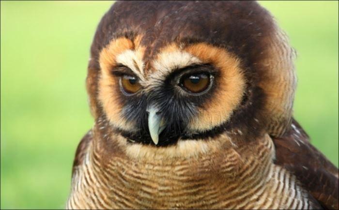 世界一可愛い鳥の種類ベスト50選 一覧 画像 Ailovei フクロウの絵 可愛い鳥 ペットの鳥
