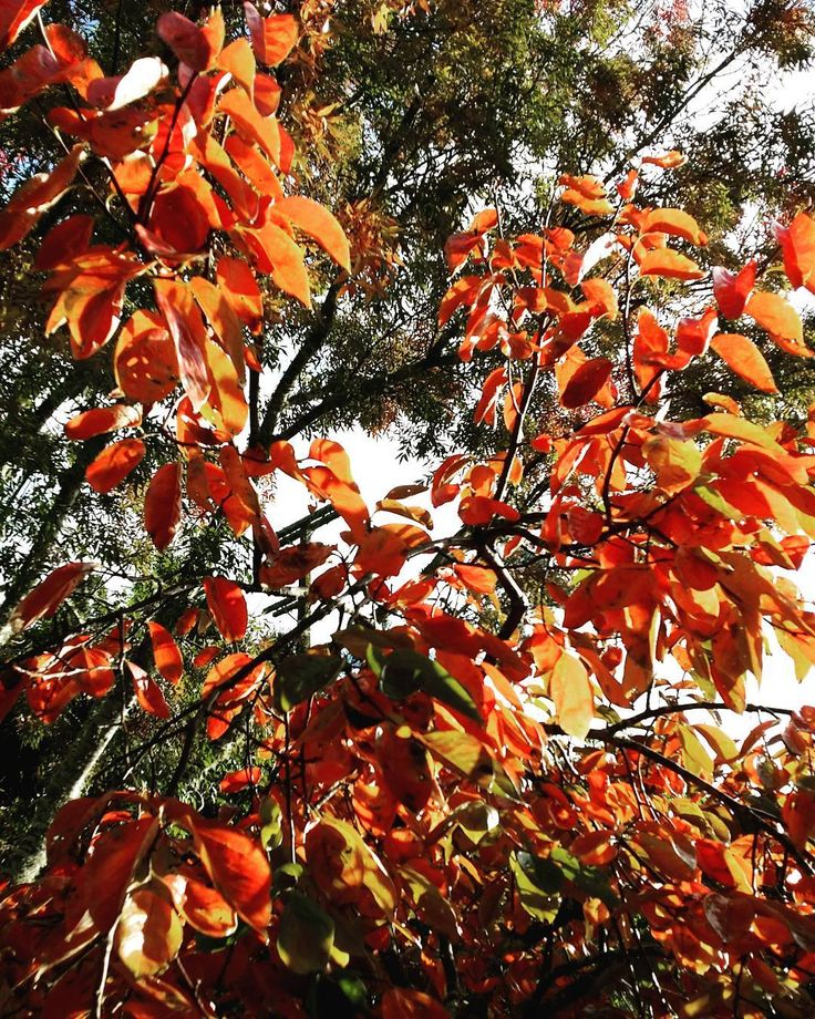 The #persimmon tree turns flame-coloured in #autumn. #newzealand #garden #orchard