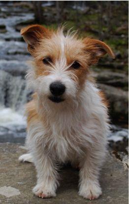 Rough-Coat Jack Russel Terrier