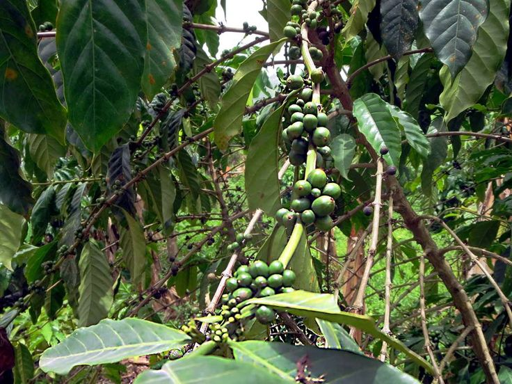 Coffee grows well in the Plateaux Region around Kpalime, Togo.