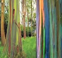 Eucalyptus deglupta ''Eucalyptus arc-en-ciel'' Graines.. Totally planting that!