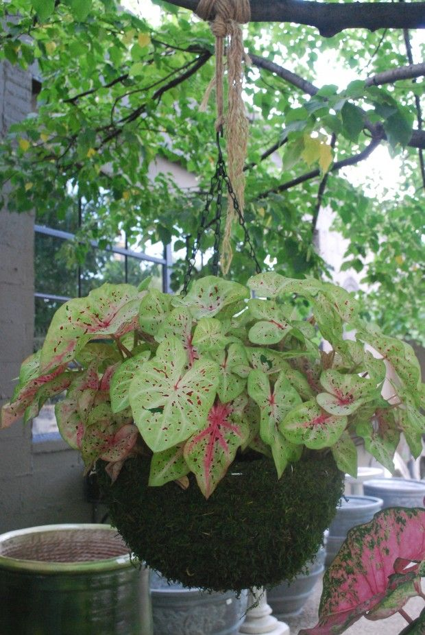 Flowers For Hanging Baskets In Part Shade : Best images about caladiums and container gardening on