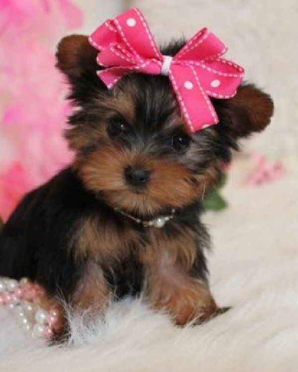 Pictures of Yorkshire Terrier Puppies Newborn - #rock-cafe