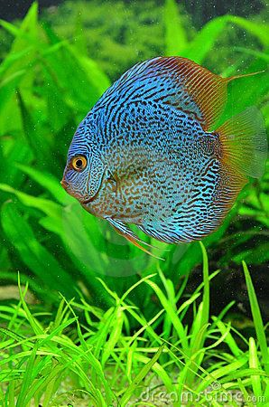 Image from http://thumbs.dreamstime.com/x/exotic-blue-discus-fish-18351833.jpg.