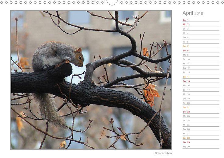 """Tierkalender mit Planer """"Hörnchen - neugierig, putzig, liebenswert"""", Kalenderblatt April: Grauhörnchen"""
