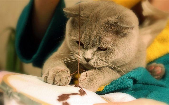 Download wallpapers British Shorthair Cat, kitten, gray cat, cute animals, pets, cats, domestic cat, British Shorthair