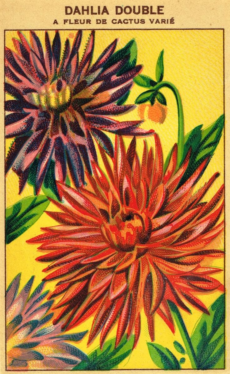 Seed Packet Flower Antique Graphic Royalty Free Printables