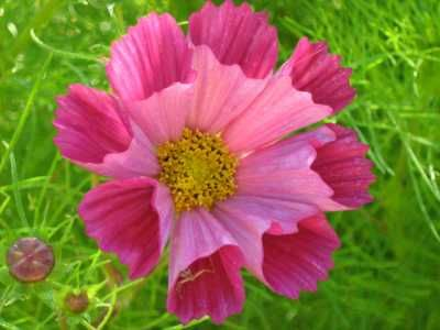 Cosmos: How to Plant, Grow, and Care for Cosmos