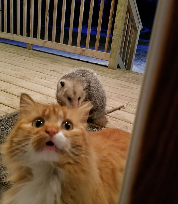 Possum Tries To Steal Cat S Food And Cat S Reaction Is Priceless