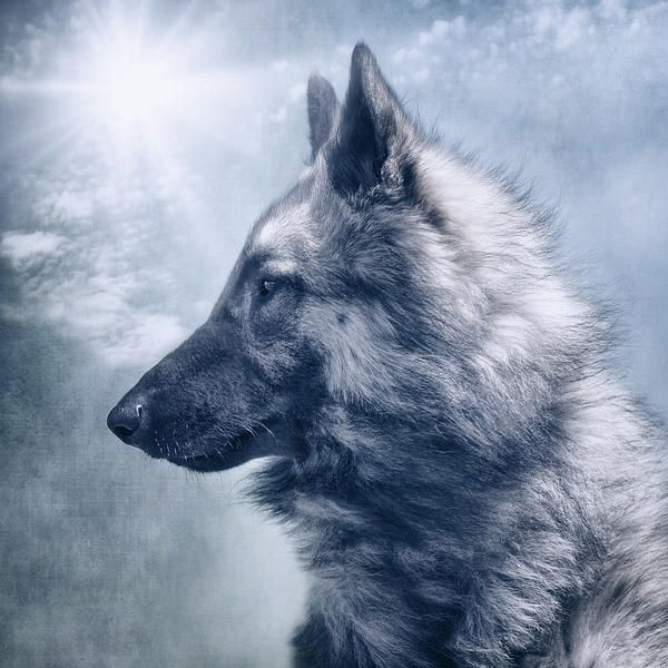 Portrait Of A Belgian Tervuren Photograph by Wolf Shadow Photography - Portrait Of A Belgian Tervuren Fine Art Prints and Posters for Sale fineartamerica.com