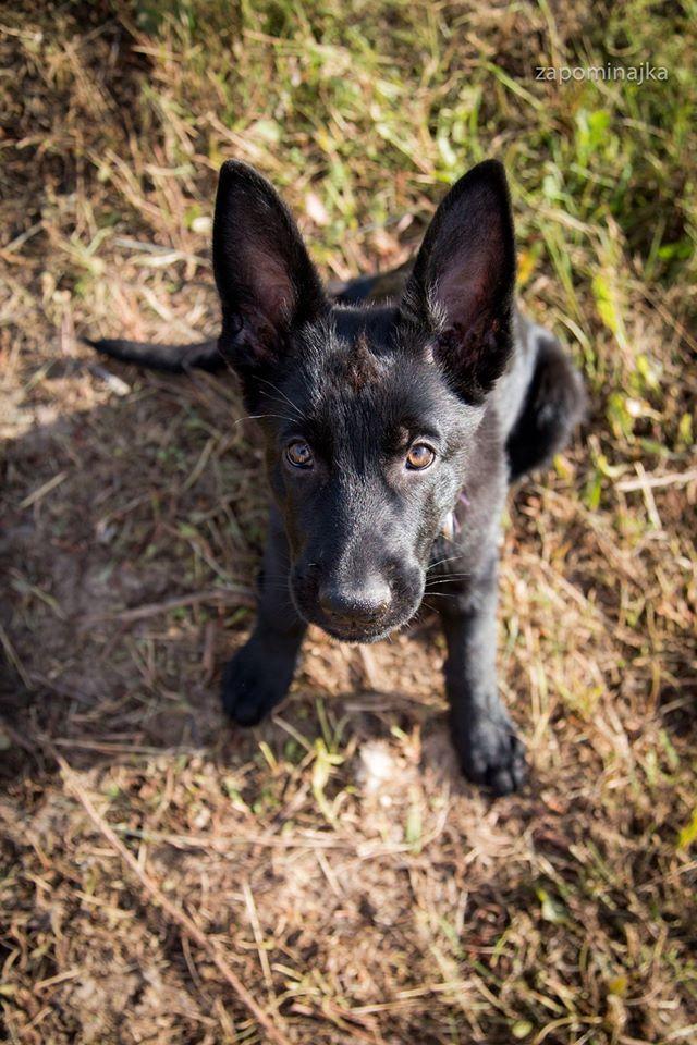 #black german shepherd #puppy # so sweet #black dog #love