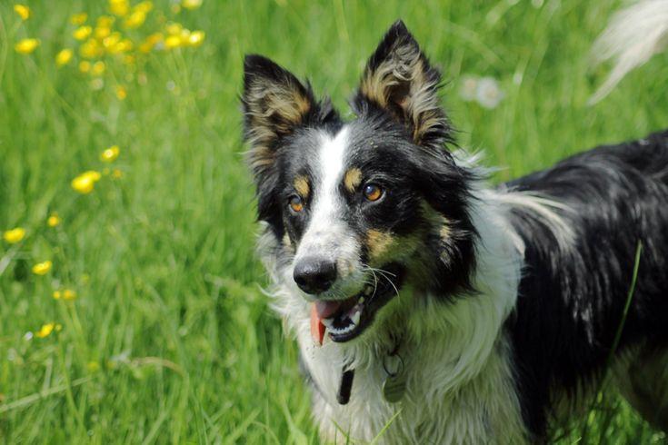 welsh sheepdog photo | Welsh Sheepdog photo and wallpaper. Beautiful Lovely Welsh Sheepdog ...