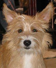 Portuguese Podengo photo | http://www.dogsindepth.com/hound_dog_bre…
