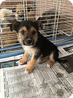 Carson, CA - Cairn Terrier/Mixed Breed (Small) Mix. Meet MONKEY, a puppy for adoption. http://www.adoptapet.com/pet/17318102-carson-california-cairn-terrier-mix