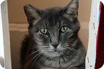 St. Louis, MO - Domestic Shorthair. Meet Selma, a cat for adoption. http://www.adoptapet.com/pet/12296140-st-louis-missouri-cat