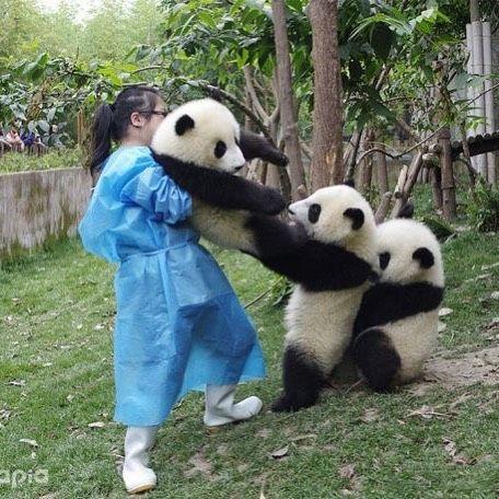 いいね!847件、コメント23件 ― あきさん(@aki6676)のInstagramアカウント: 「引き離される⁉️ #パンダ #3頭 #引き離される #兄弟⁉️ #飼育員さん #可愛い #大熊猫 #ジャイアントパンダ #白黒 #ツートンカラー」