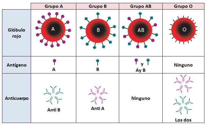 Existen numerosos sistemas de grupos sanguíneos y de ellos el más utilizado el sistema ABO/Rhesus. En este sistema el tipo de sangre más raro es el AB- que se encuentra en menos del 1% de la poblac…