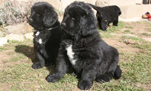 Cachorros de Terranova