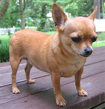 Different Types of Chihuahua