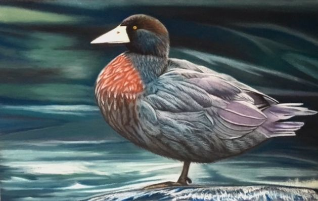 'Whio' - or Blue Duck, endangered.  Painted in soft pastels with pastel pencils for minor details. 9x12 inches.