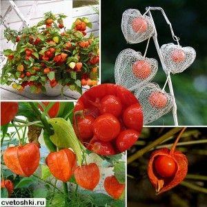 Ягодный, декоративный и овощной физалис: выращивание из семян | Цветы вокруг
