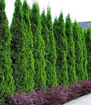 Lebensbaum-Hecke 'Thuja Smaragd'