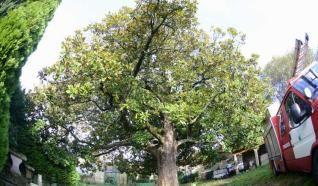 El magnolio centenario de la Granxa da Rúa, próxima sede de Protección Civil de Cangas do Morrazo.