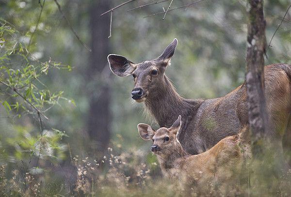 Sambar Deer (Cervus unicolor) in Bandhavgarh National Park, Madhya Pradesh_ India