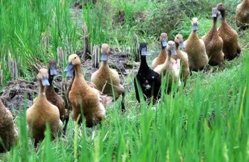Rice Field Ducks, Ubud
